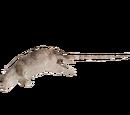 Dead Rat Enrichment (Ulquiorra)