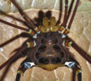 Neoancistrotus