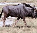 Антилопы гну