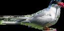 Arctic Tern.png