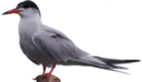Common Tern.png