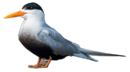 Black-bellied Tern.png