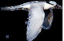 Black-naped Tern.png
