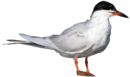 Forster's Tern.png
