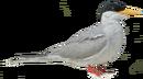 River Tern.png