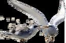 Snowy-crowned Tern.png