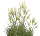 Pampas Grass (Aurora Designs)
