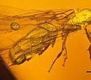 Acropyga glaesaria