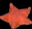 Antarctic Sea Star (Whalebite)