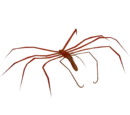 Giant Sea Spider (Whalebite)