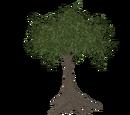 Big Tree (Thom)