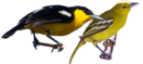 Common Iora.png