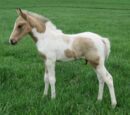AVabug/Horse Foal's For Sale! ~Logan