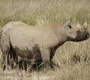 Западный чёрный носорог