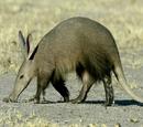 Aardvark/Gallery