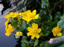 1024px-2007-03-27Caltha palustris01-1-.jpg