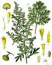 800px-Artemisia absinthium - Köhler–s Medizinal-Pflanzen-164-1-.jpg