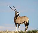 Oryx/Gallery