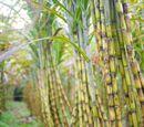 Gaystripe/Sugarcane