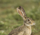 Hare/Gallery