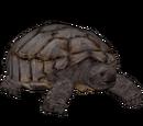 Gopher Tortoise (Burnt Gecko)