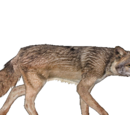 Red Wolf (Burnt Gecko)