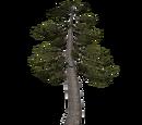 Bog Pine (Ulquiorra)