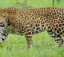 Indian Leopard