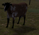 Cattle calf (2.7)