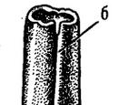 Белемнопсеиды