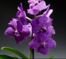 OrchidClan (Username033 & Kaibones)