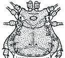 Boneta pulchra