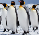 King Penguin and Emperor Penguin Similarities and Differences