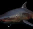 Акула-людоед