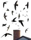Chimney Swift From The Crossley ID Guide Eastern Birds.png