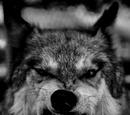 Loyalistofthenight/Wicked
