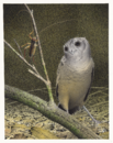 New Zealand Owlet-nightjar.png