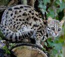 Леопардовое племя
