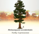 Metasequoia occidentalis