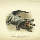 Alligatore del Mississippi disegno.png