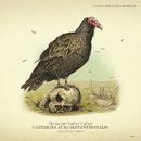 Avvoltoio collorosso disegno.png